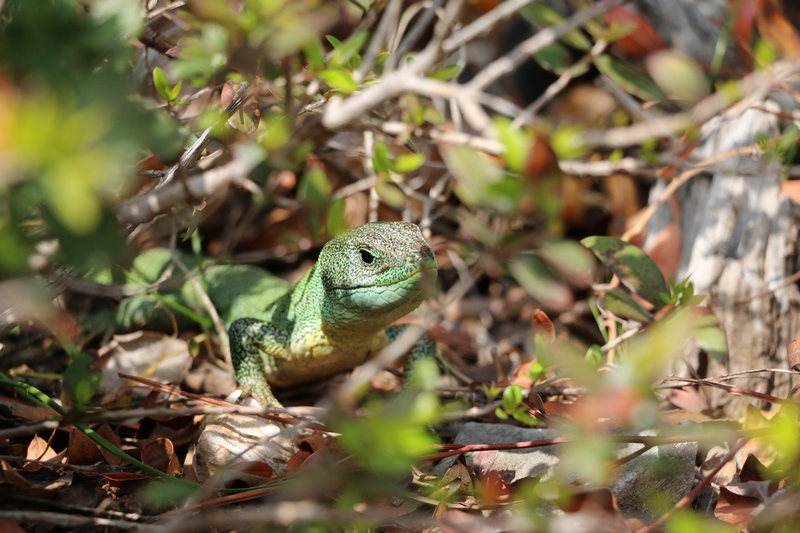 Lizard Lokrum Island