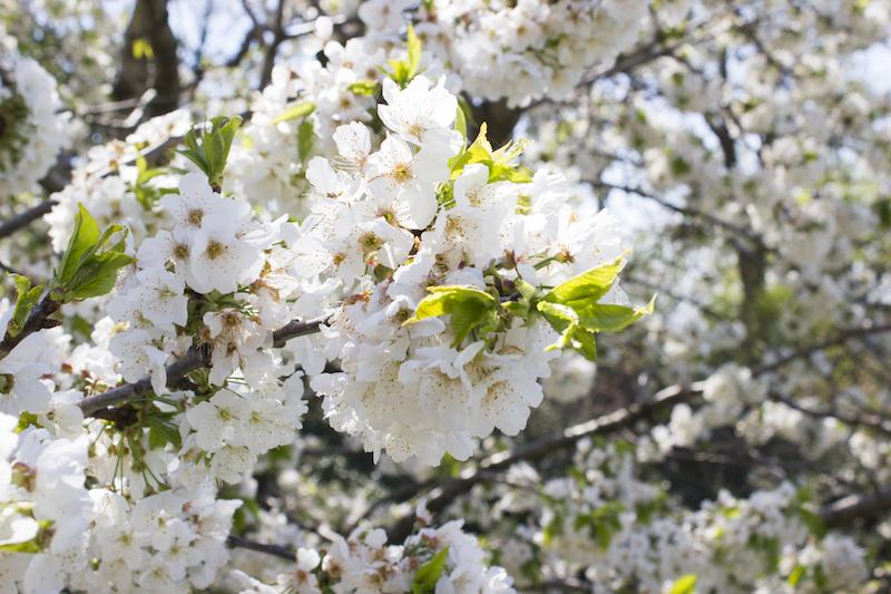 konavle cvijeće