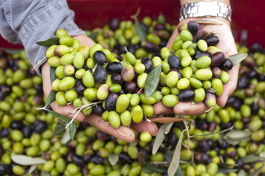 dubrovnik olive