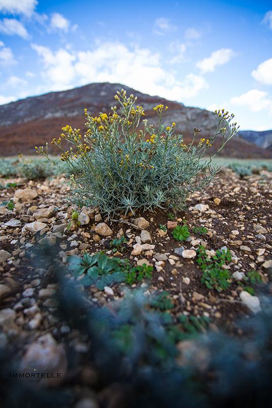 Helichrysum Italicum, lat.